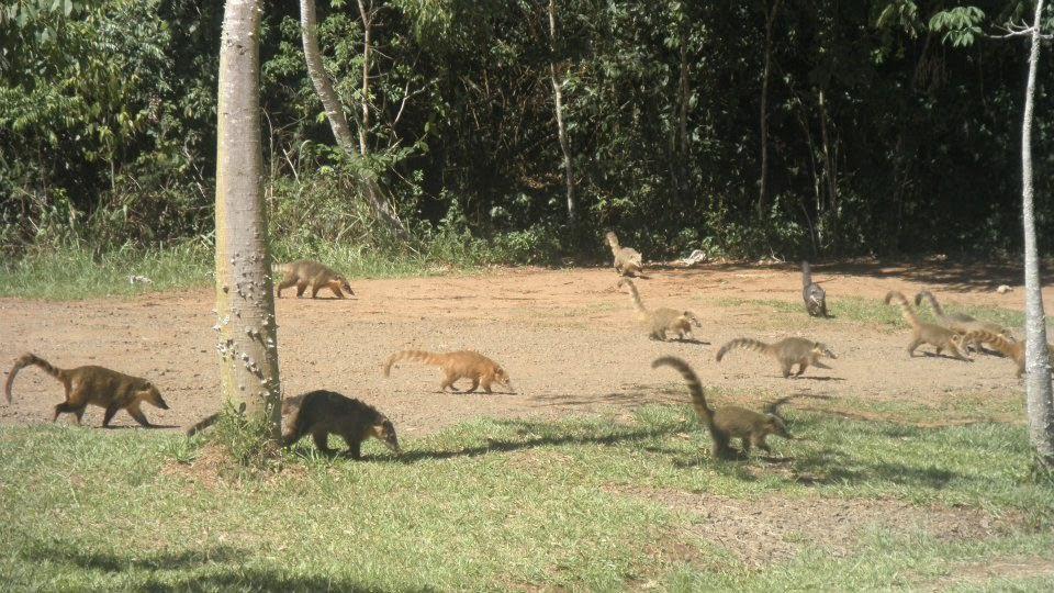 coati, iguazu, brezilya